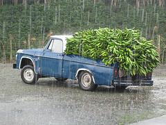 pickups platanos